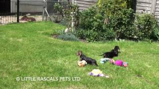 Little Rascals Uk Breeders New Litter Of Wired Haired Dachshund