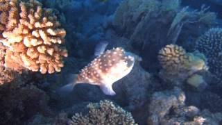 гигантская мурена и короткошипая рыба еж