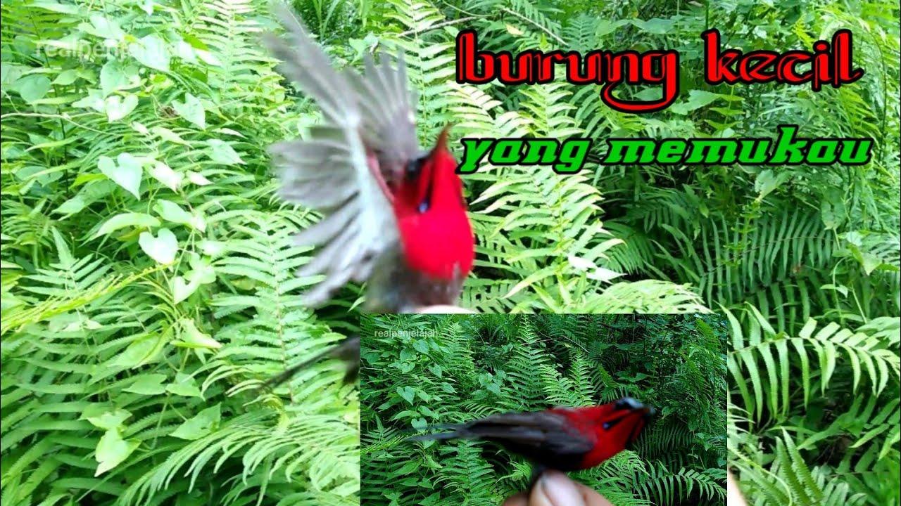 Mikat Kolibri Sepah Raja Youtube
