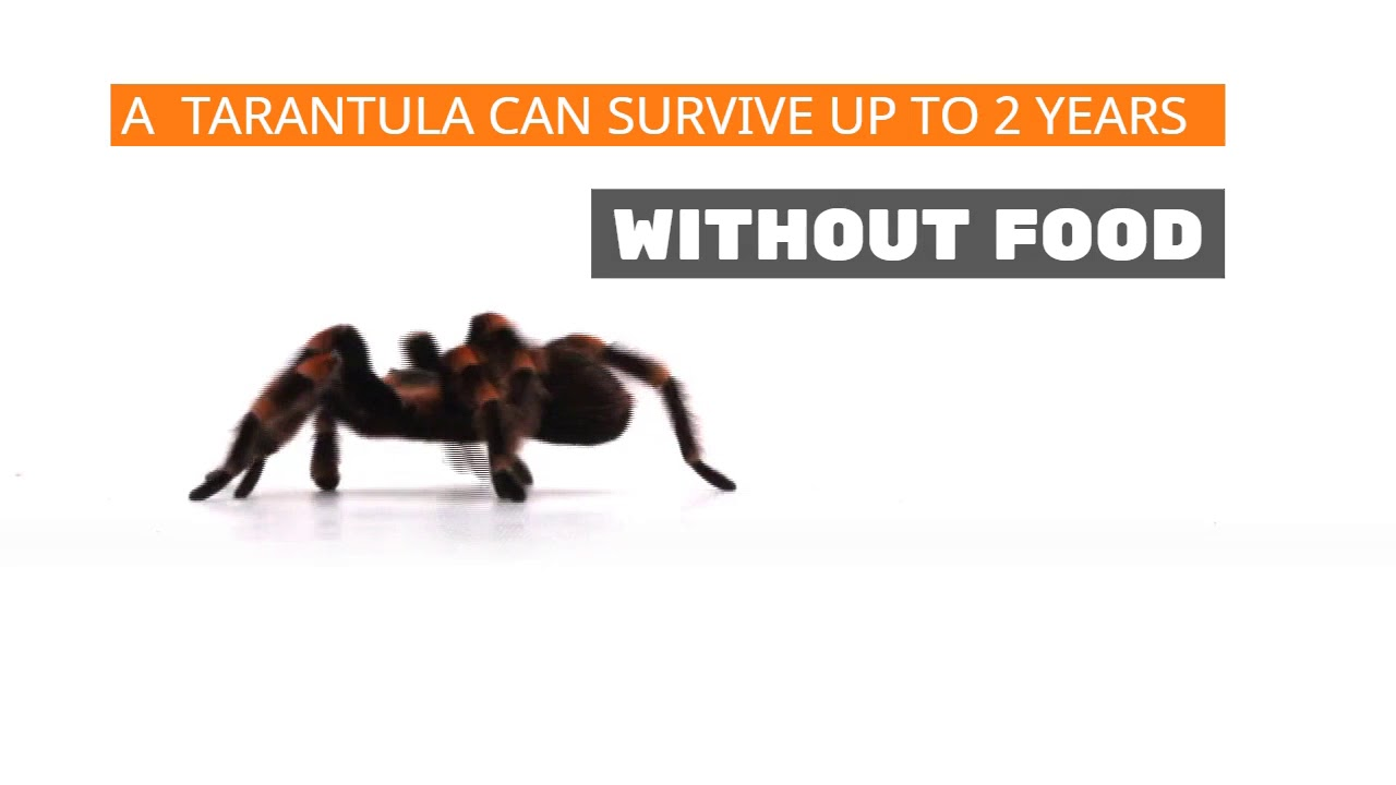 How Long Can A Tarantula Survive Without Food Youtube
