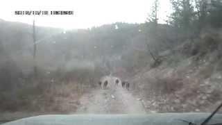 Звери на лесной дороге  Осторожно мат!
