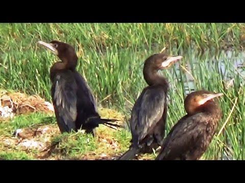 Large Cormorants HD - Mangalajodi Wetlands, Chilika Lake, Odisha