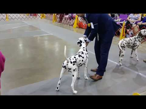 Dalmatians (Best of Breed) - 2018 First Colony Cluster [Gloucester Kennel Club of Virginia: AKC]