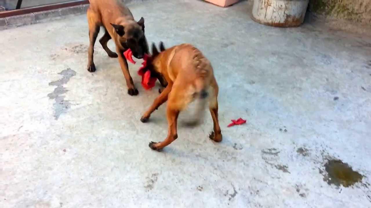 cachorros pastor belga malinois de 6 meses