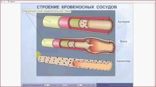 Сосуды. Причины движения крови по сосудам. Подготовка к ЕГЭ и ОГЭ по биологии
