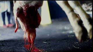 Sacrifice - A Slaughterhouse Documentary