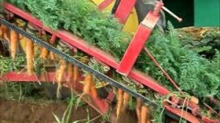 Colheita mecanizada de cenoura