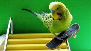 Как научить попугая кататься на скейте? Попугаи приколы!