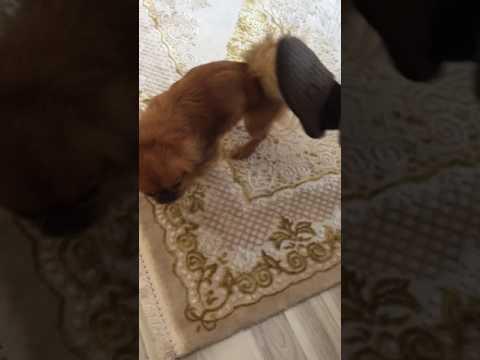 Sapık köpek