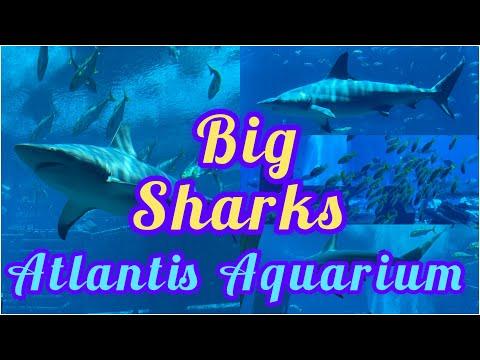 Atlantis The Palm The Lost Chambers Aquarium/big sharks #Enzoluto #lostchambersAquarium