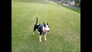 Airedale Terrier Puppy Playing With Bull Terrier