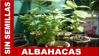 APRENDE A MULTIPLICAR PLANTAS DE ALBAHACA SIN USAR SEMILLAS