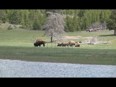 Yellowstone bison may be shipped to Fort Peck Indian Reservation