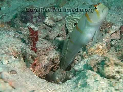 Goby-Shrimp Mutualism