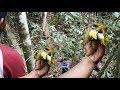 Di Sini To Tempat Koloni Burung Pleci Rame Banget  Mp3 - Mp4 Download