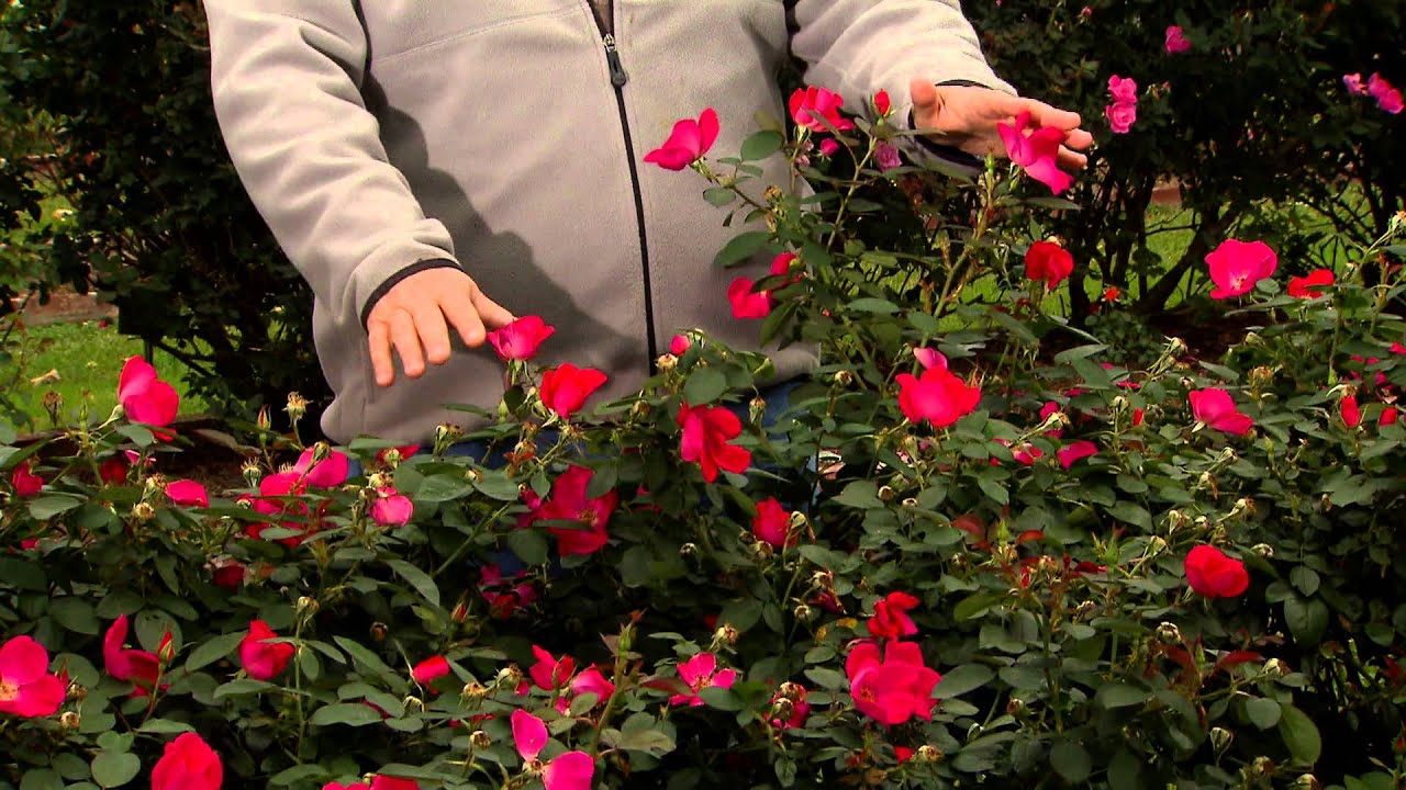 Rose Care For Fall And Winter Months Youtube