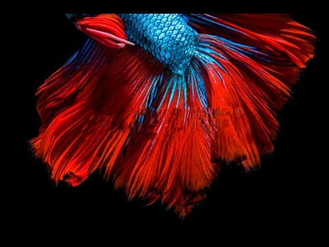 Fighter Fish Hd Wallpaper Download Betta Fish Screensaver Video For Macbook User Youtube