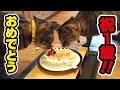双子の子猫に1歳の誕生日を盛大に祝ってみた!〜Kitten's 1st birthday party!〜 HD