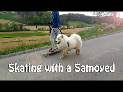 Skating with a Samoyed