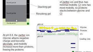 Principle Of SDS PAGE | Why Discontinuous Buffer System Is Used?