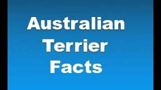 Australian Terrier Facts - Facts About Australian Terriers