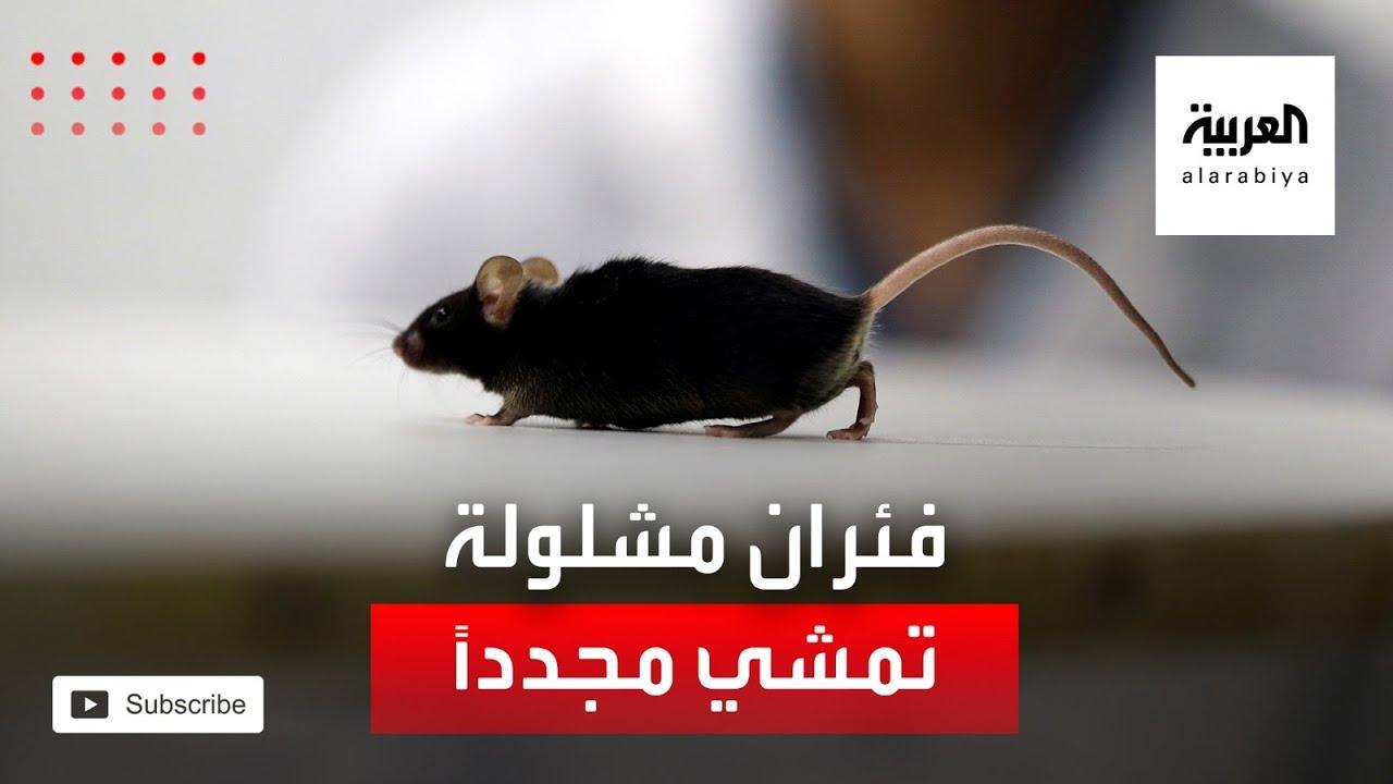 اختراق علمي.. فئران مشلولة تتمكن من السير مجددا  - نشر قبل 2 ساعة