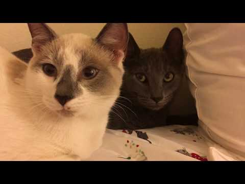 New Foster Cats! Scared Siamese and Grey