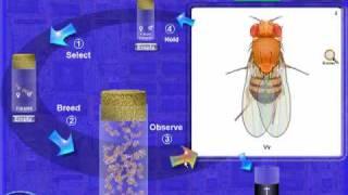 Drosophila Genetics Lab Introduction