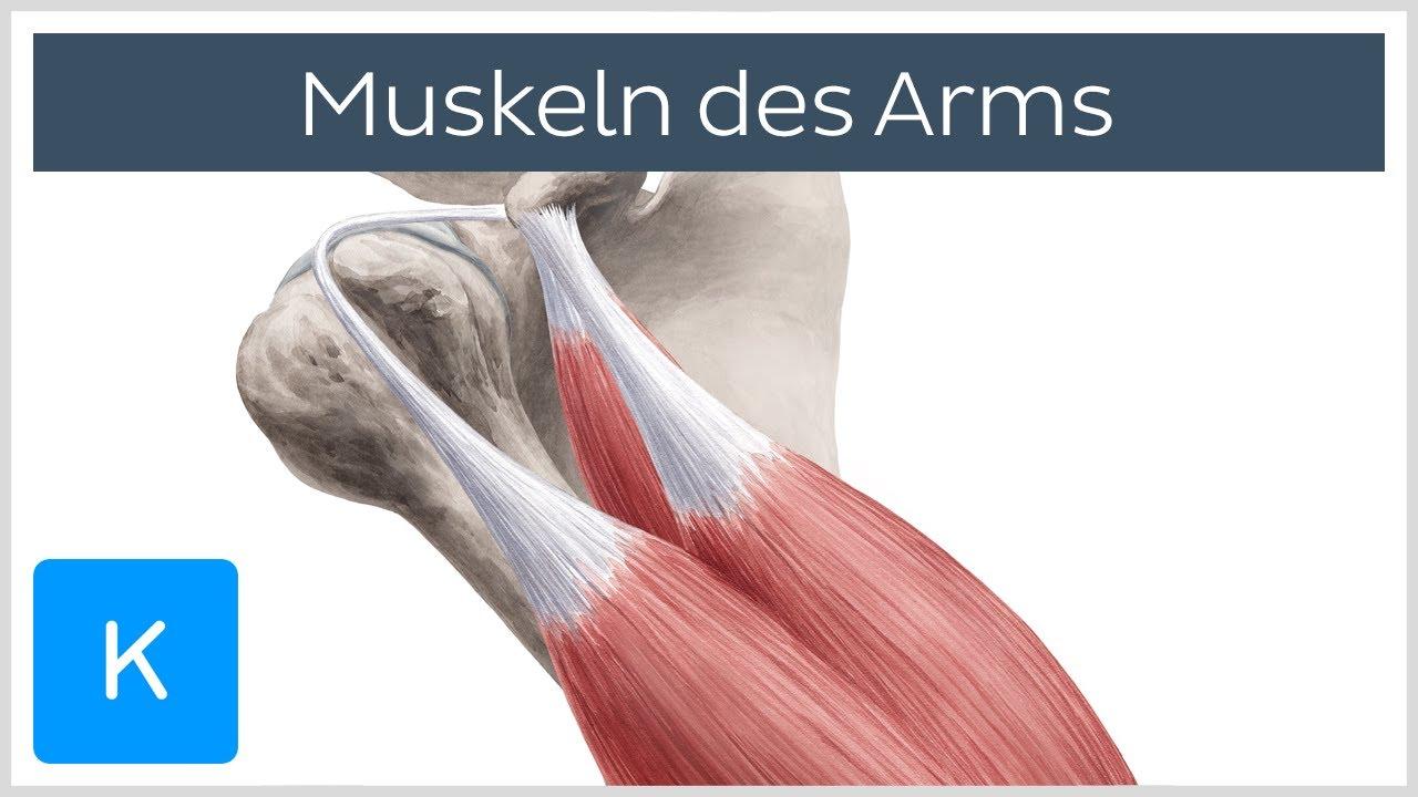 Muskeln des Arms - Ursprünge, Ansätze und Innervation - Anatomie des ...