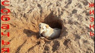 Собаки на пляже Джомтьен.  Паттайя.