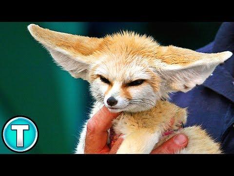 World's Weirdest Animals: Fennec Fox