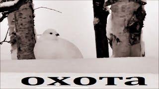 Охота на куропатку зимой с подхода север белая куропатка