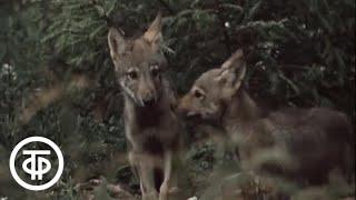 В объективе - животные. Волчата (1984)