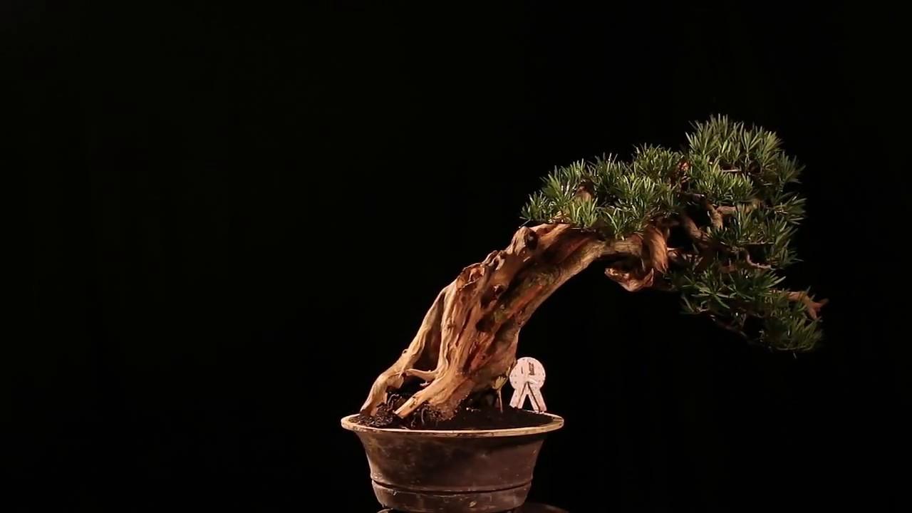 Bonsai Podocarpus Macrophyllus 30 1738 Youtube