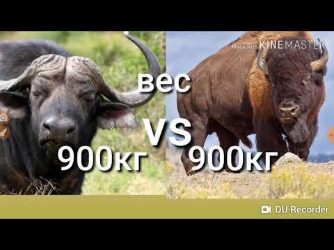 Африканский буйвол против Американский бизон!Кто кого?