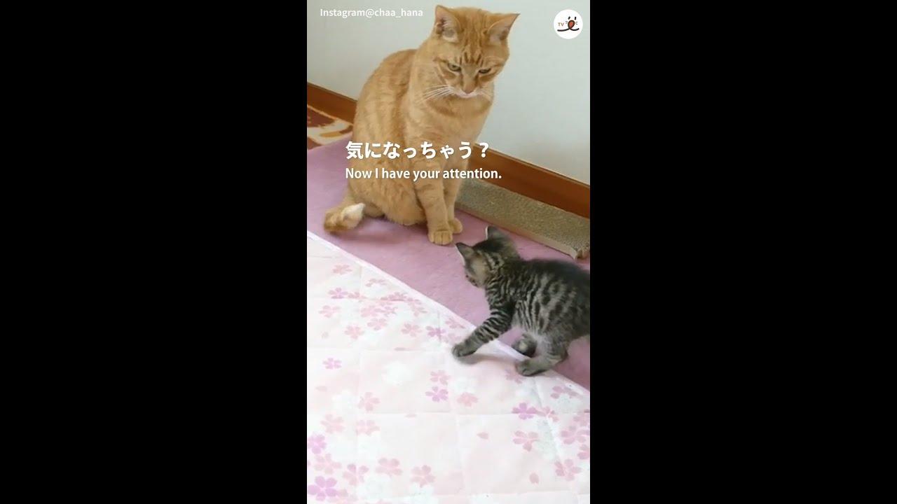 【まるでコント】尻尾をペシペシ動かして、子猫を誘惑する猫さん