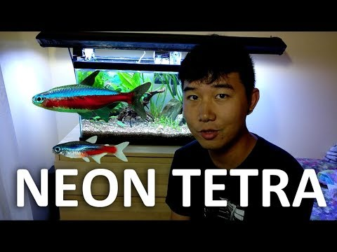 Neon Tetra | Beginner Guide