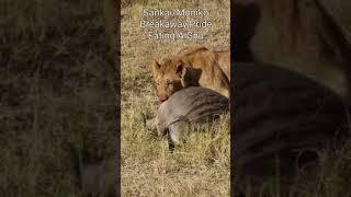 Maasai Mara Sightings Today 03/08/21 (Lions, Cheetah, Rhino, etc)   Zebra Plains