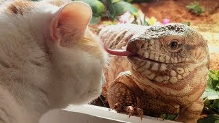 Red Tegu Meets Cats For The First Time 🐱🦎