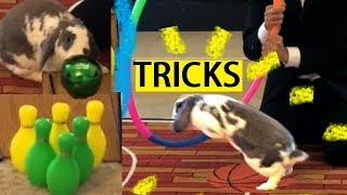 Amazing Bunny Tricks- The Gong Show- Advanced Rabbit Tricks