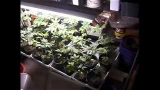 High Times: Ready! Set! Grow! II *420* How to grow Cannabis