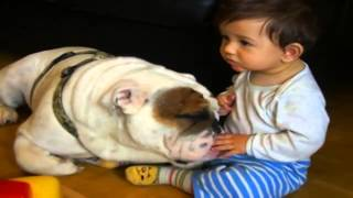 Bulldog Lovers English Bulldog Licks Baby's Hands