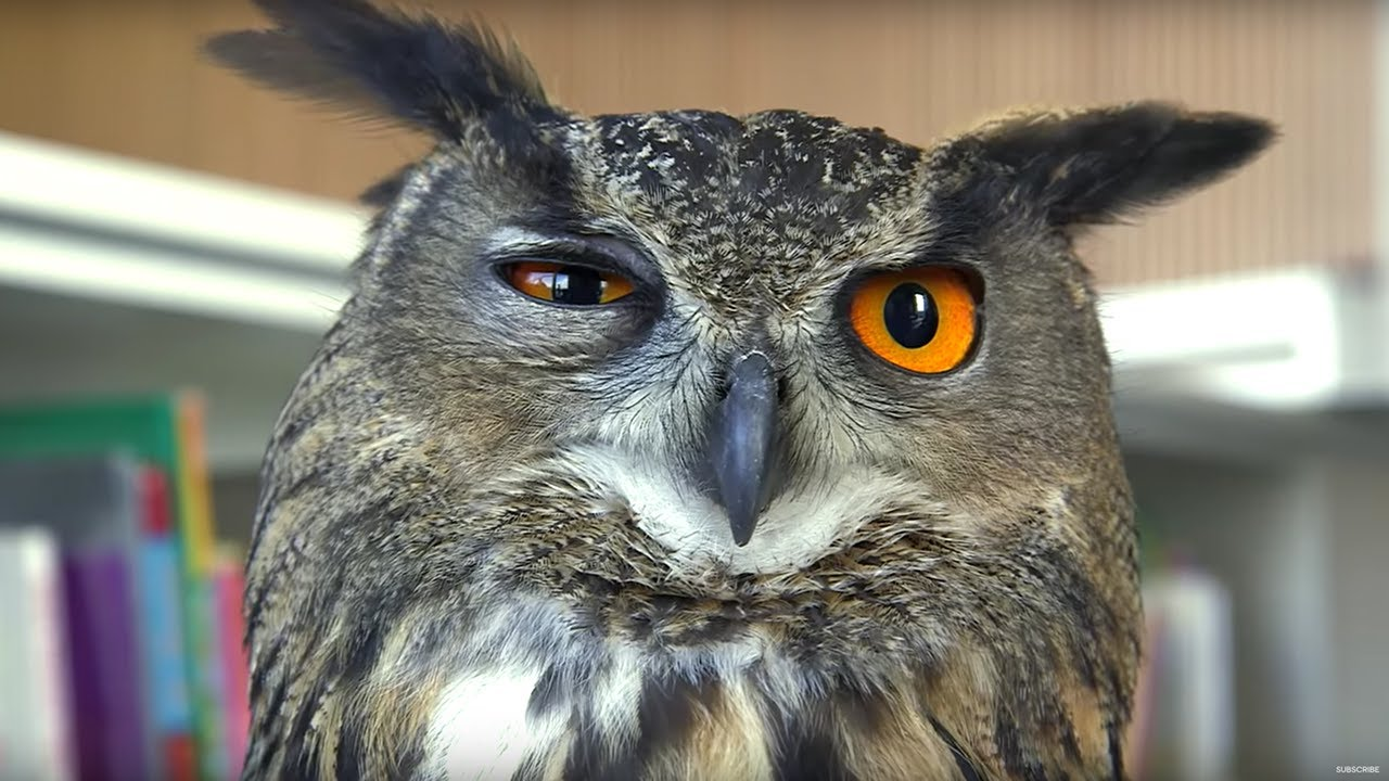 Eagle Owl Found Hiding In Library! - Earth Unplugged - YouTube