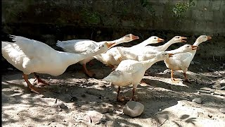 Beautiful white Duck's Family.