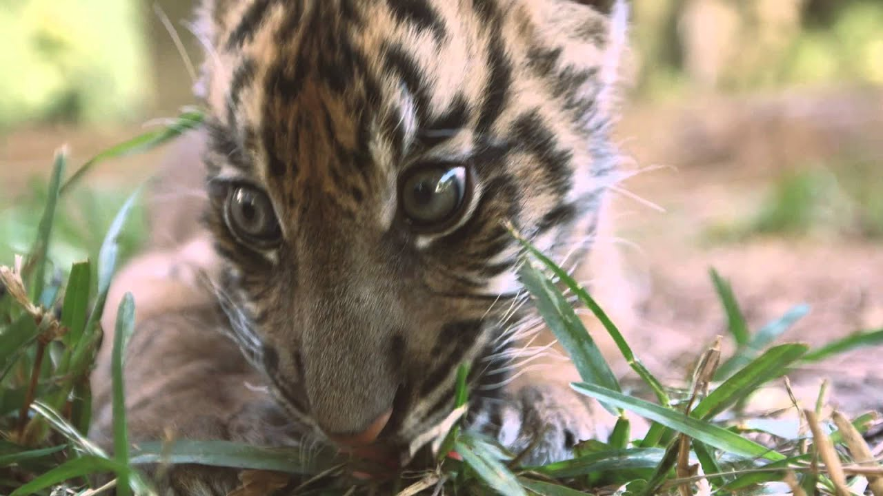 Cutest Baby Tiger at the San Diego Zoo Safari Park