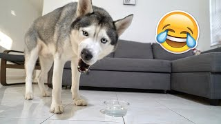 My Husky Reacts to Trying Thick Water!
