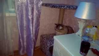 Щенок хаски пытается играть с кошкой