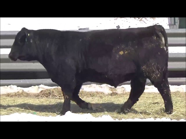 Connealy Angus Lot 392
