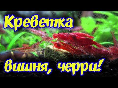 Креветки вишни, черри, размножение, содержание, кормление и совместимость с рыбами в аквариуме!