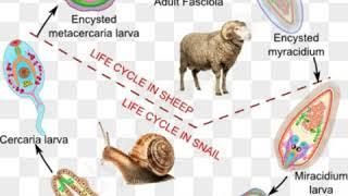 Faciola hepatica (liver fluke) life cycle in hindi
